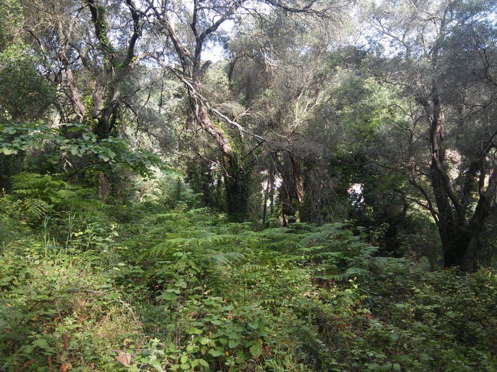Olivenwälder bei Sinarades