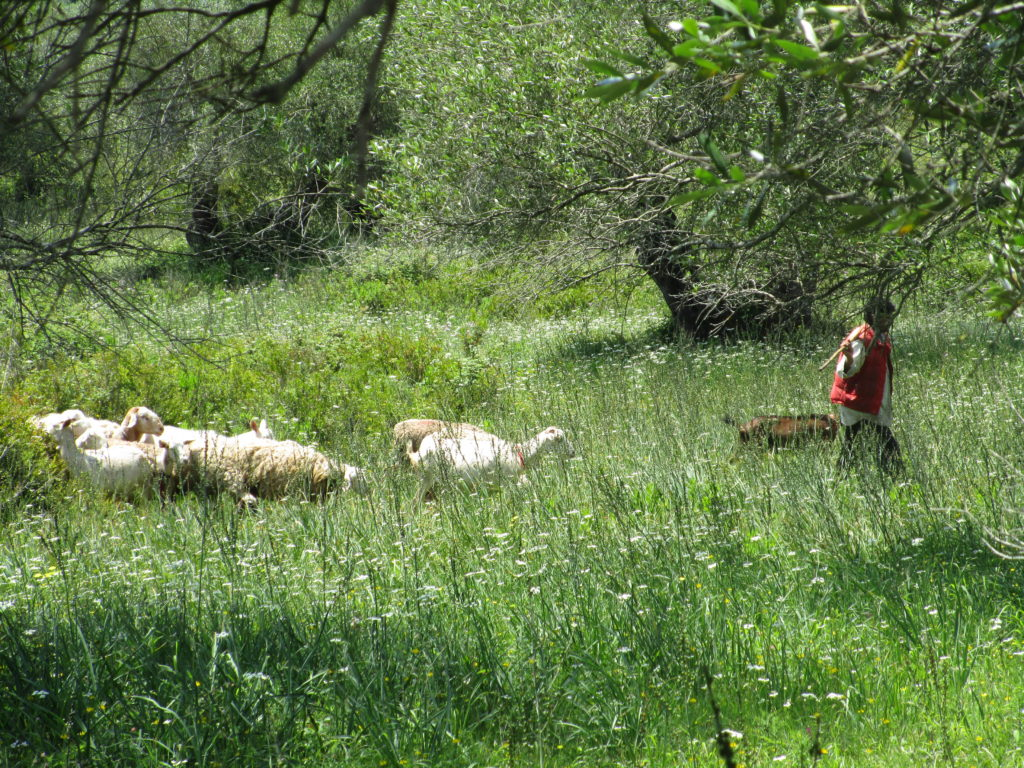 Hirte mit seiner Herde