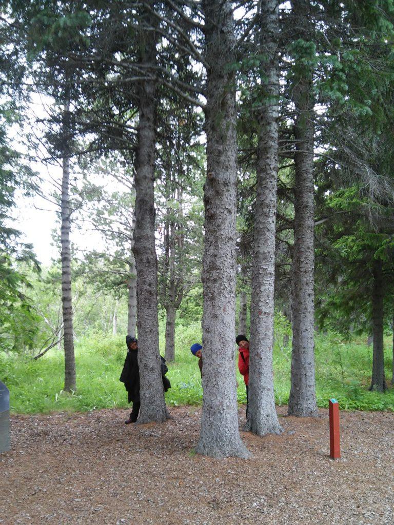 Drei Waldwichtel in Hallormstadur