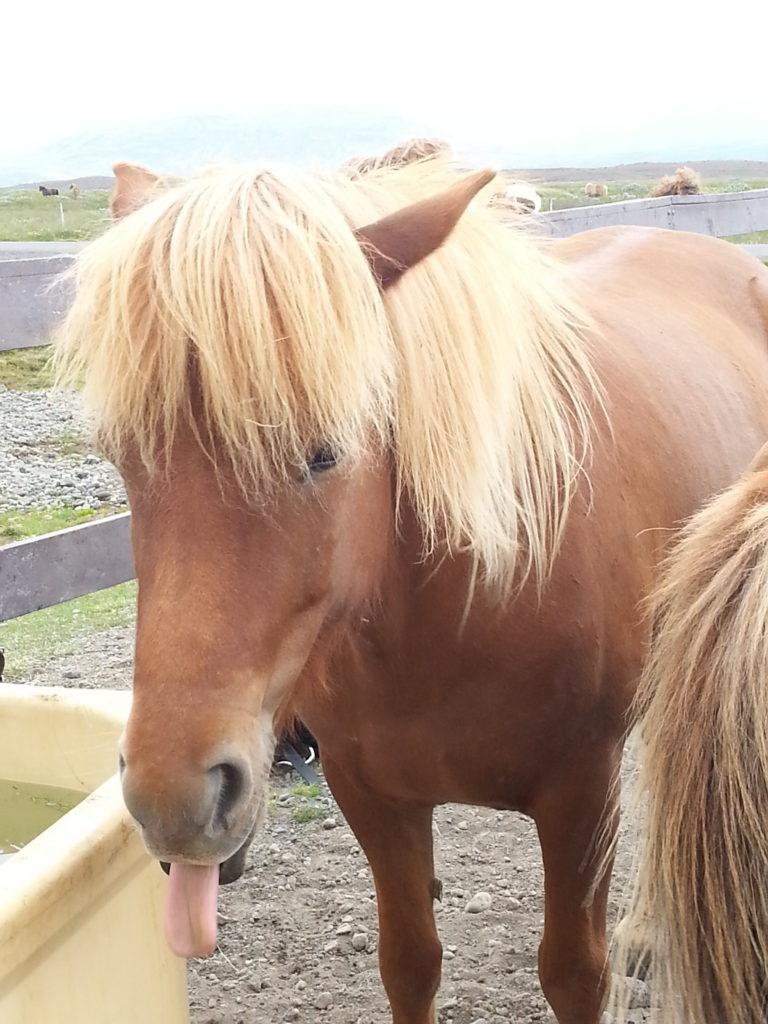 Pferde beim Gullfoss
